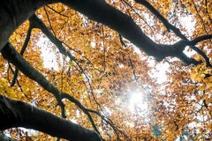 Colorful yellow autumn leaves Royalty Free Stock Image