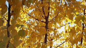 Colorful yellow autumn leaves at daylight sky with sun flare rays. stock video