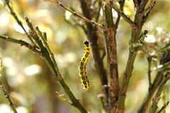 Colorful yellow and black caterpillar Stock Photo