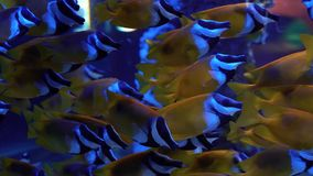 Colorful yellow and blue fish in Oceanarium stock video