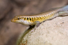 Colorful yellow, brown, blue and black lizard royalty free stock photos