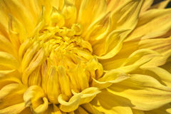 Colorful Yellow Dahlia Flower Royalty Free Stock Images