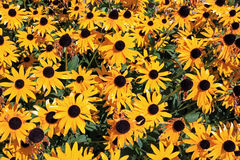 Colorful yellow daisys Royalty Free Stock Image
