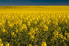 Colorful yellow field of blooming rape Royalty Free Stock Photos