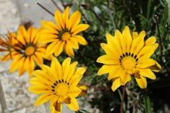 Colorful yellow Gazania Flower in the garden Stock Photo
