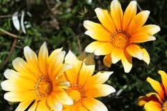 Colorful yellow Gazania Flower in the garden Royalty Free Stock Images