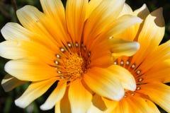 Colorful yellow Gazania Flower in the garden Royalty Free Stock Photos