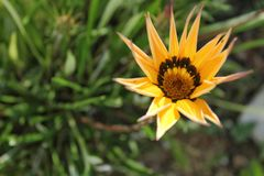 Colorful yellow Gazania Flower in the garden Royalty Free Stock Photo