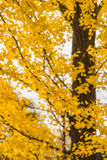 Colorful yellow ginko leaves branch tree in showa kinen park, To Royalty Free Stock Photos
