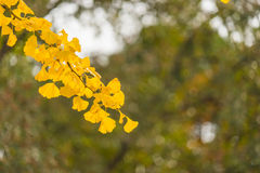 Colorful yellow ginko leaves branch tree in showa kinen park, To Royalty Free Stock Photo