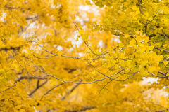 Colorful yellow ginko leaves branch tree in showa kinen park, To Stock Photos