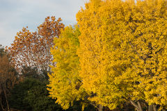 Colorful yellow ginko leaves branch tree in showa kinen park, To Stock Images
