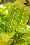 Colorful yellow and green Croton leaf Stock Photo