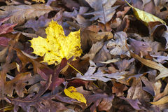 Colorful Yellow Leaf Stands Out in Autumn Royalty Free Stock Image