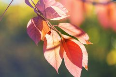 Autumn leaves. Colorful yellow leaves in Autumn season. Close-up shot. Suitable for background image stock photos