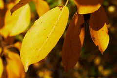 Colorful yellow leaves of poplar Stock Images