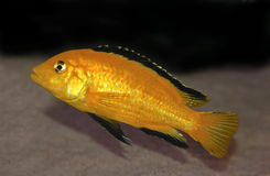Colorful yellow malawi cichlid Stock Images