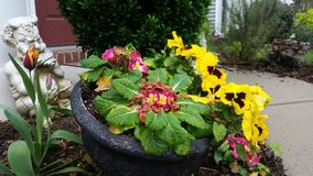 Colorful yellow pansies, variegated tulips and pink primroses with Pan statue in planter. Colorful yellow pansies, tulips and pink primroses with white Pan Royalty Free Stock Image