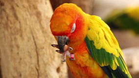 Colorful yellow parrot eating peanut, Sun Conure (Aratinga solstitialis) stock video