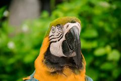 Colorful yellow parrot macaw. On the tree in Bangkok, Thailand stock image