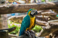 Colorful yellow parrot macaw. On the tree in Bangkok, Thailand stock photography