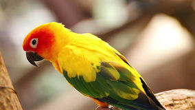 Colorful yellow parrot, Sun Conure (Aratinga solstitialis) stock video footage