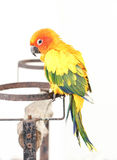 Colorful Yellow Parrot, Sun Conure Aratinga solstitialis, Stan. Single Of Colorful Yellow Parrot, Sun Conure Aratinga solstitialis, Standing On The Branch Royalty Free Stock Images