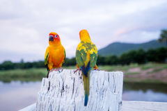 Colorful yellow parrot, Sun Conure (Aratinga solstitialis), stan Stock Photo
