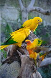 Colorful yellow parrot, Sun Conure Aratinga solstitialis, standi. Ng on the branch Stock Photo