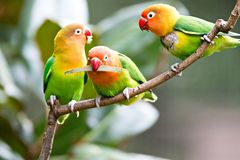 Colorful yellow parrot Sun Conure Aratinga solstitialis standi. Colorful yellow parrot Sun Conure  Aratinga solstitialis standing on the branch Stock Images