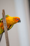 Colorful yellow parrot, Sun Conure Royalty Free Stock Image