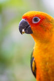 Colorful yellow parrot, Sun Conure Royalty Free Stock Photos