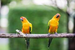Colorful yellow parrot, Sun Conure Stock Photos