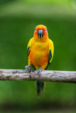 Colorful yellow parrot, Sun Conure Stock Photo
