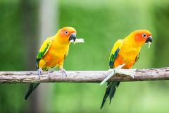 Colorful yellow parrot, Sun Conure Stock Image