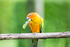 Colorful yellow parrot, Sun Conure Stock Images