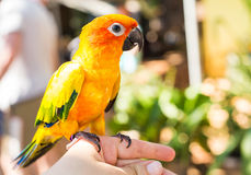 Colorful yellow parrot Sun Conure, Aratinga solstitialis Royalty Free Stock Images