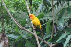 Colorful yellow parrot, Sun Conure Aratinga solstitialis, standing on the branch, breast profile. Background bird. Colorful yellow parrot, Sun Conure Aratinga Royalty Free Stock Images