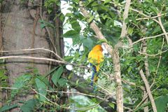 Colorful yellow parrot, Sun Conure Aratinga solstitialis, standing on the branch, breast profile.  Stock Photo