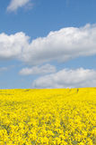Colorful yellow rape field, Brassica napus, under a blue sky wit Stock Image