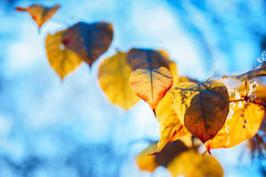 colorful yellow red autumn fall leaves on tree branches on blue sky background Stock Images