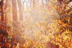Colorful yellow red autumn fall leaves on tree branches, bushes, fall season. Beautiful close up image shot with colorful yellow red autumn fall leaves on tree royalty free stock photo