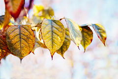 Colorful yellow red autumn fall leaves on tree branches, fall season. Beautiful close up image shot with colorful yellow red autumn fall leaves on tree branches Stock Photo