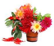 Colorful yellow, red needle dahlias in a ceramic mug, scattered petals isolated on white royalty free stock image