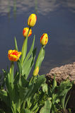Colorful yellow red spring tulip flower. On the background of water and stone Royalty Free Stock Image