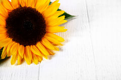 Colorful yellow sunflower on a white table Royalty Free Stock Photography