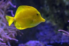 Yellow Tang Tropical Fish. A colorful Yellow Tang tropical fish swims in a salt water fish tank Royalty Free Stock Images