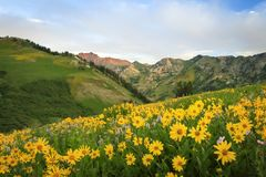 Colorful yellow wildflowers in the Wasatch Mountains, utah, USA. Stock Photography