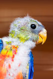 Colorful young bird. Close-up of a colorful, young tropical bird Royalty Free Stock Photos