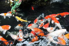 Colorful young fancy carp koi Stock Photography